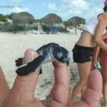 A liberar tortuguitas marinas. Centro de Rescate de Tortugas Marinas,Cayo Largo.©Octavio Avila López