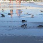 Buena suerte! Liberación de tortuguitas marinas. Centro de Rescate de Tortugas Marinas,Cayo Largo.©Octavio Avila López