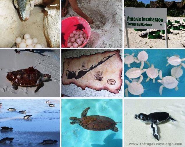 Concentración de fotos.Tortugas Cayo Largo